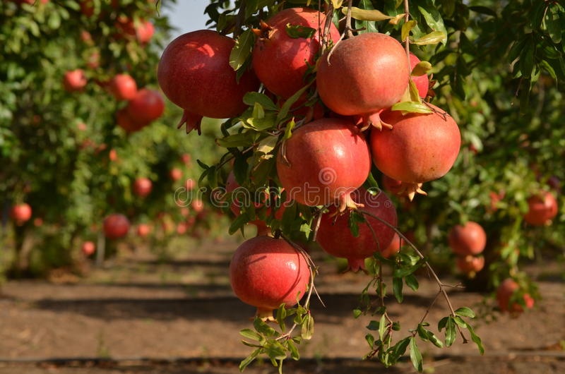Árvore de romã fotografia de stock royalty free