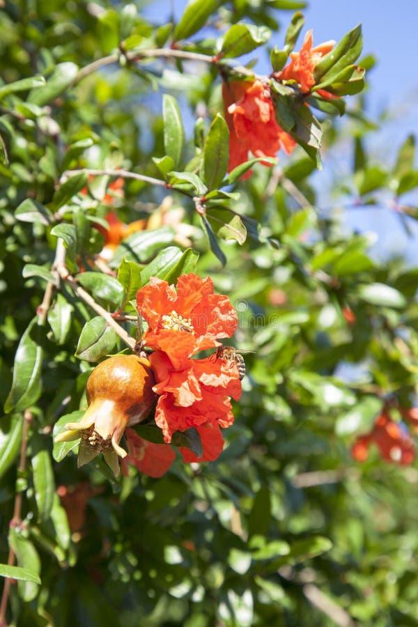 Árvore de romã de florescência fotos de stock royalty free