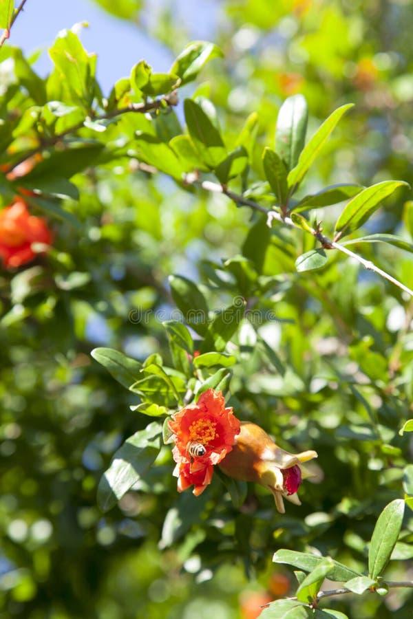 Árvore de romã de florescência imagens de stock