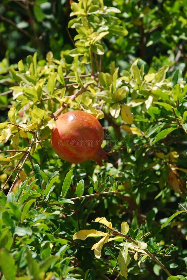 Árvore de romã e crescimento de frutos enorme da romã sob o sol abrasador e o céu azul foto de stock