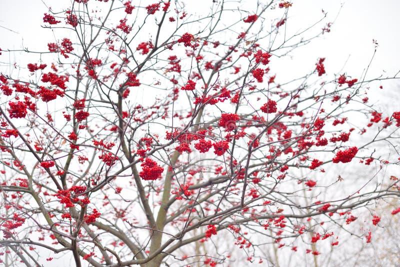 A árvore de Rowan com bagas vermelhas imagens de stock