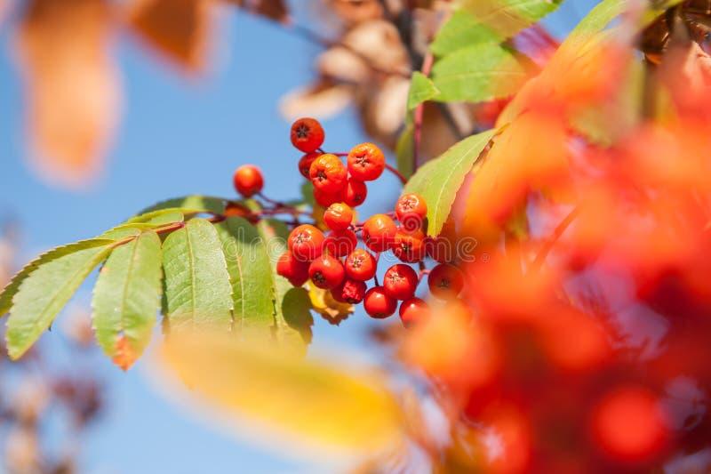Árvore de Rowan do outono com bagas vermelhas e as folhas coloridas fotos de stock royalty free
