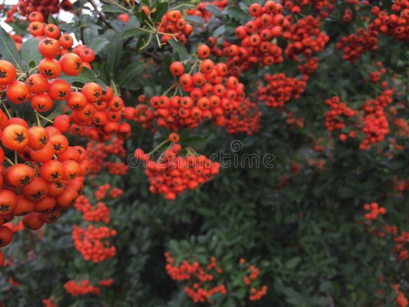 Árvore de Rowan do outono com bagas vermelhas e as folhas coloridas Foco seletivo Filiais de Rowan cobertas com as bagas vermelha fotos de stock