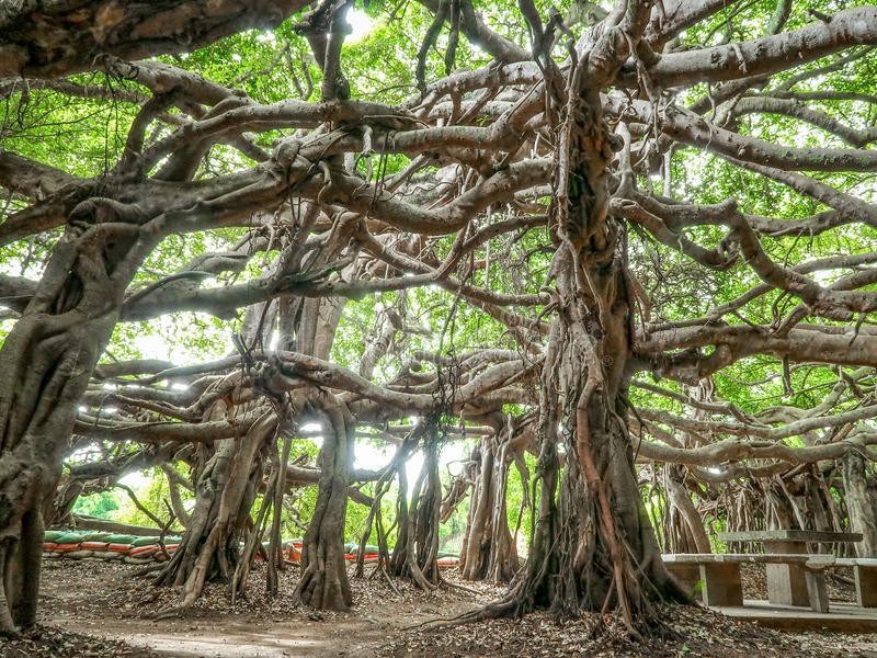 Árvore de Sai Ngam Banyan no distrito de Phimai, província de Nakhon Ratchasima, Tailândia imagem de stock