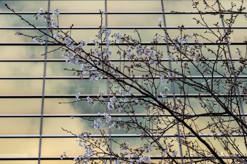 Árvore de sakura da flor de cerejeira na flor no fundo de vidro do prédio de escritórios fotografia de stock royalty free