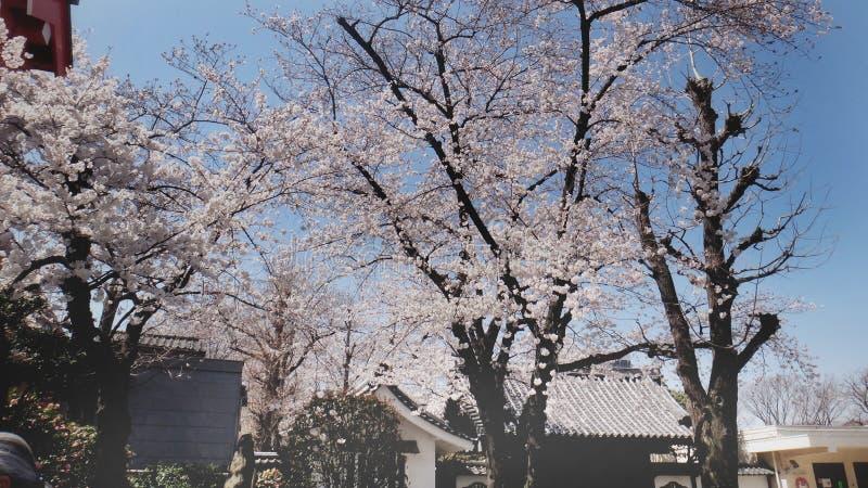 Árvore de Sakura na baixa imagem de stock