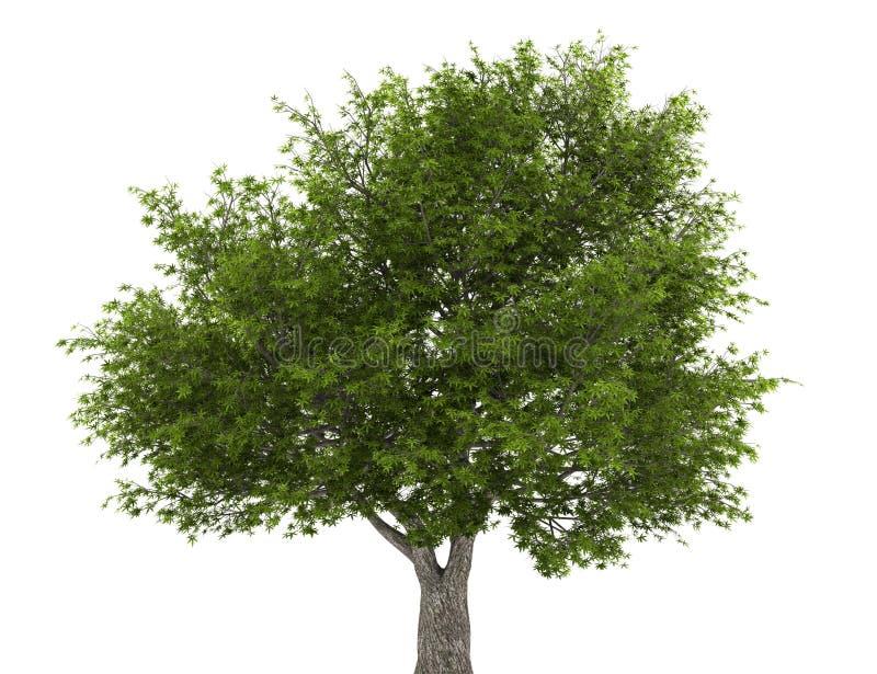 Árvore de salgueiro da rachadura isolada no branco ilustração royalty free