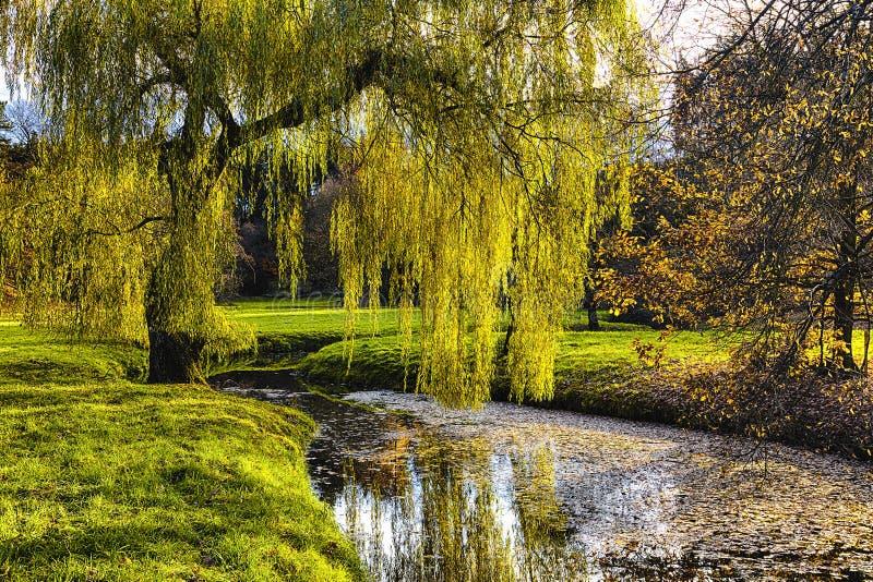 Árvore de salgueiro pela lagoa fotos de stock royalty free