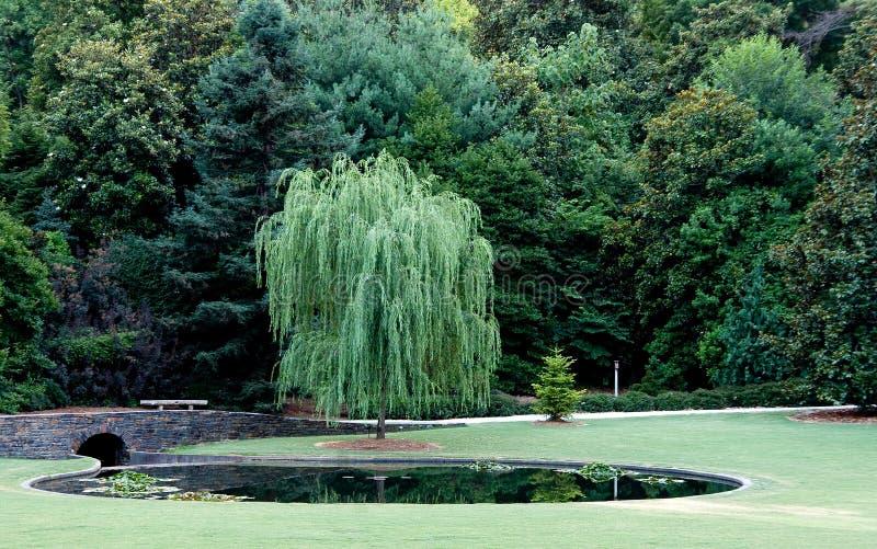 Árvore de salgueiro Weeping fotografia de stock