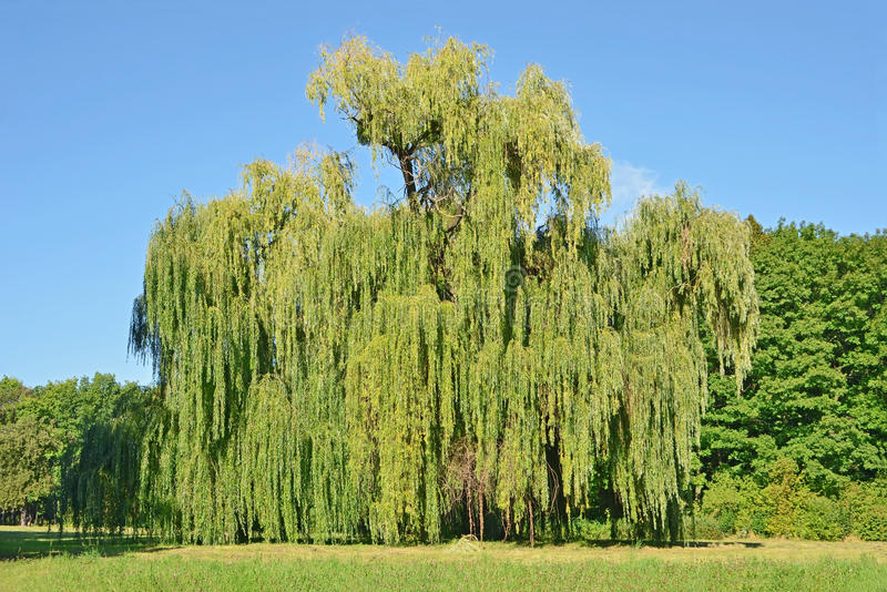 Árvore de salgueiro Weeping imagem de stock