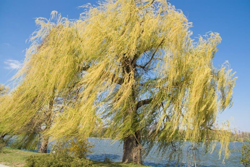 Árvore de salgueiro Weeping pelo lago no parque foto de stock
