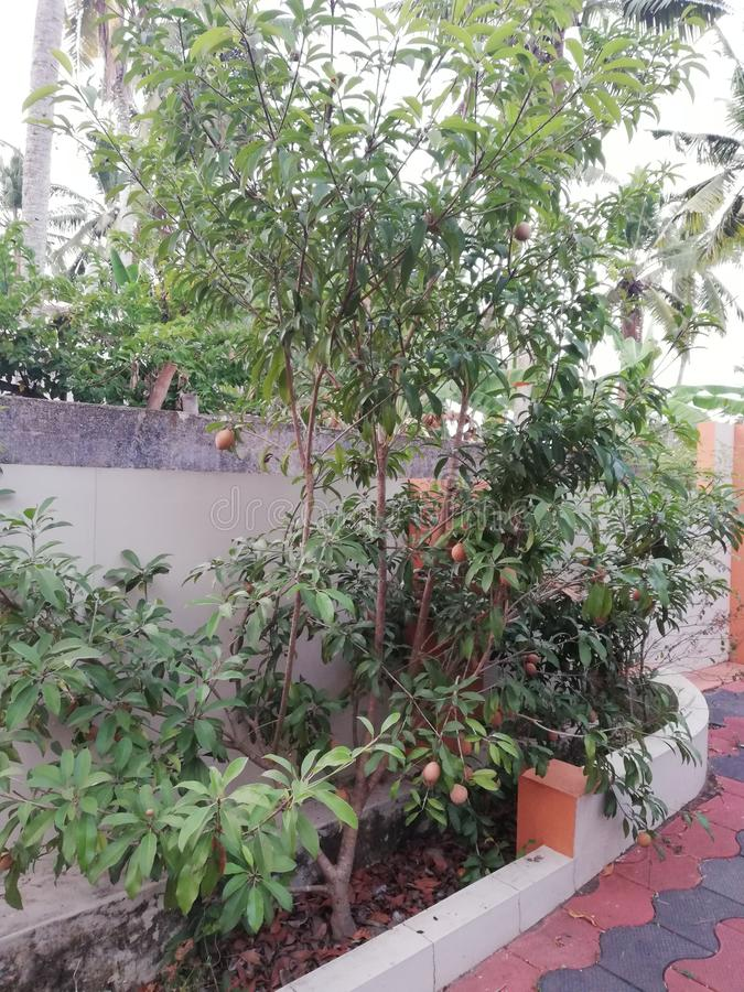 Árvore de Sapota Terra da casa Planta natural imagens de stock royalty free