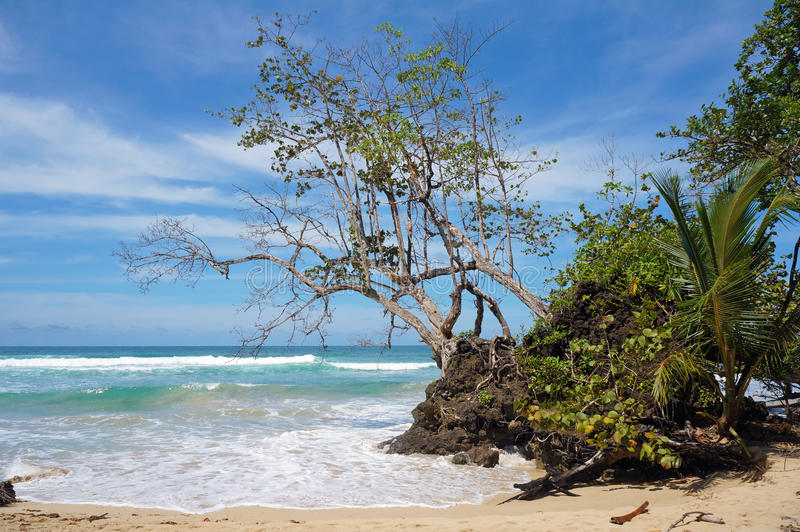 Árvore de Seagrape que inclina-se sobre o mar em uma praia fotografia de stock