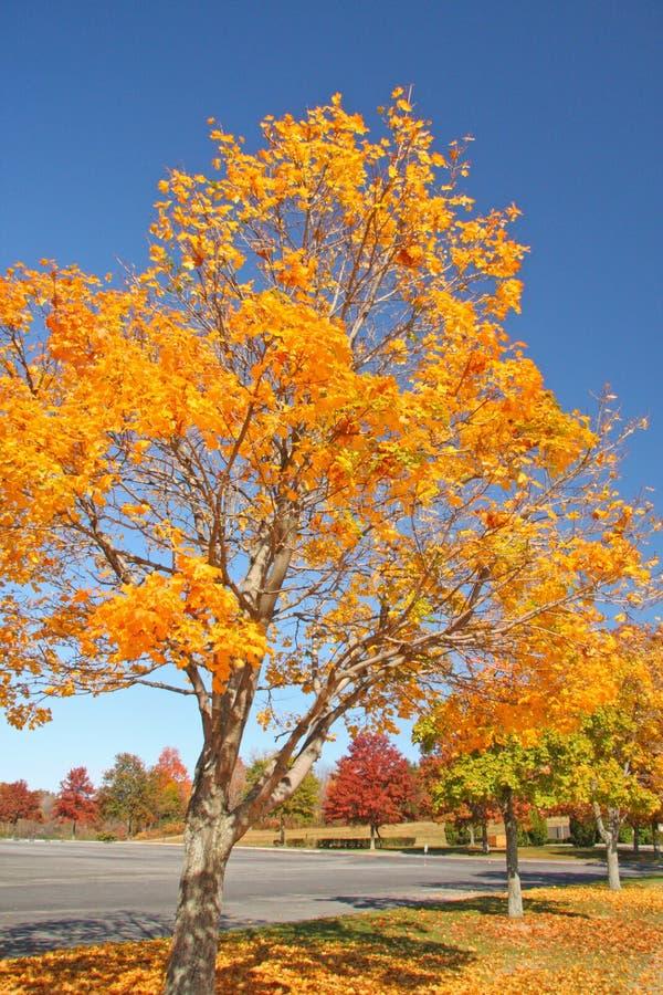 Árvore de Sugar Maple na queda foto de stock royalty free