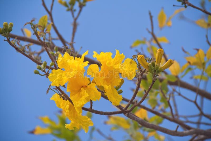 Árvore de Tabebuia foto de stock royalty free
