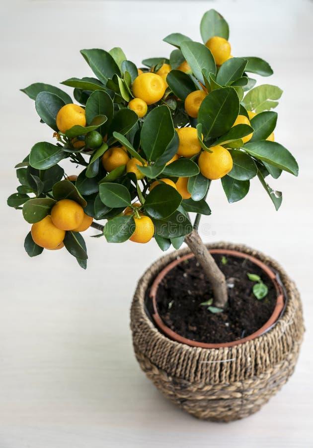 Árvore de tangerina diminuta em um potenciômetro em um fundo branco nos ramos das folhas verdes e de tangerinas maduras, amarelas foto de stock
