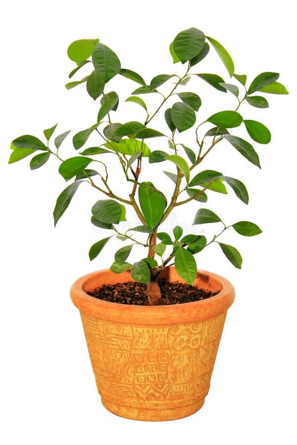 Árvore de tangerina do Houseplant fotografia de stock