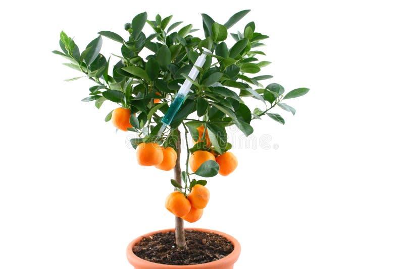 Árvore de Tangerines com seringa tóxica imagens de stock