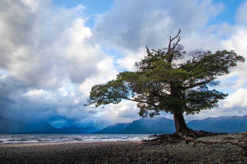 Árvore de Tenaciuos fotografia de stock