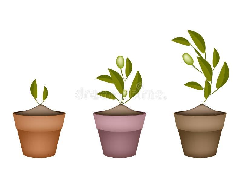 Árvore de três azeitonas em uns potenciômetros de flor cerâmicos ilustração stock