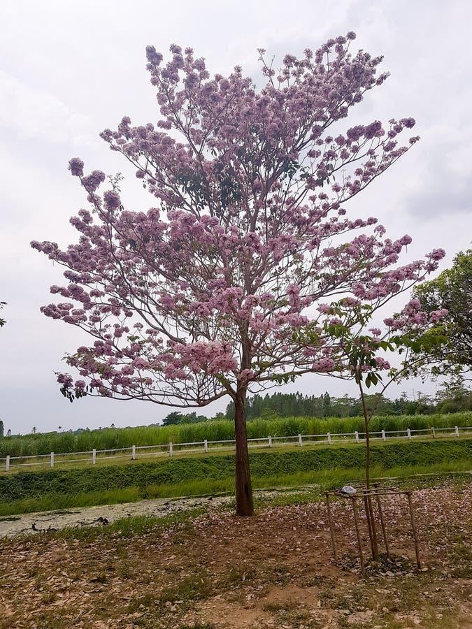 Árvore de trombeta, rosea de Tabebuia e fundo cor-de-rosa do céu azul fotos de stock