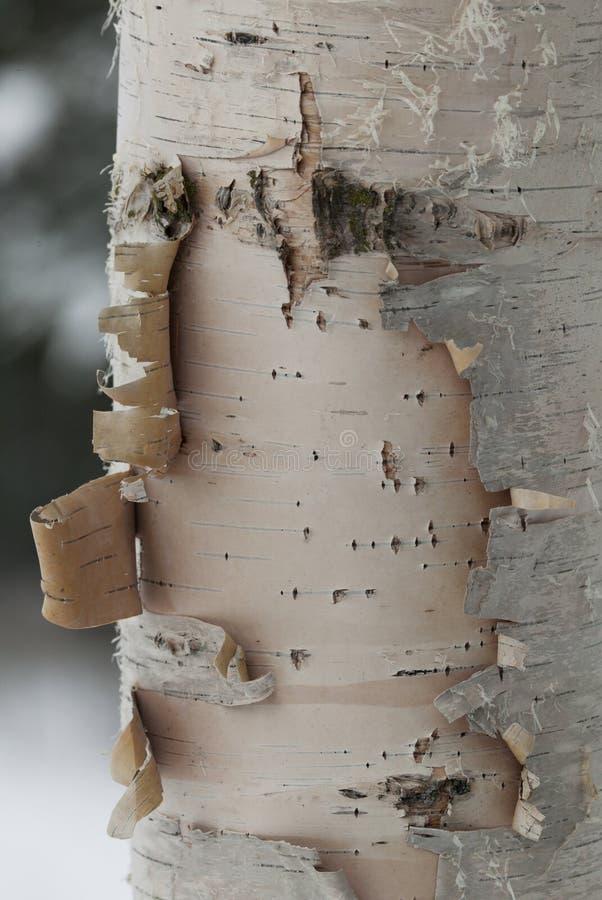 Árvore de vidoeiro foto de stock