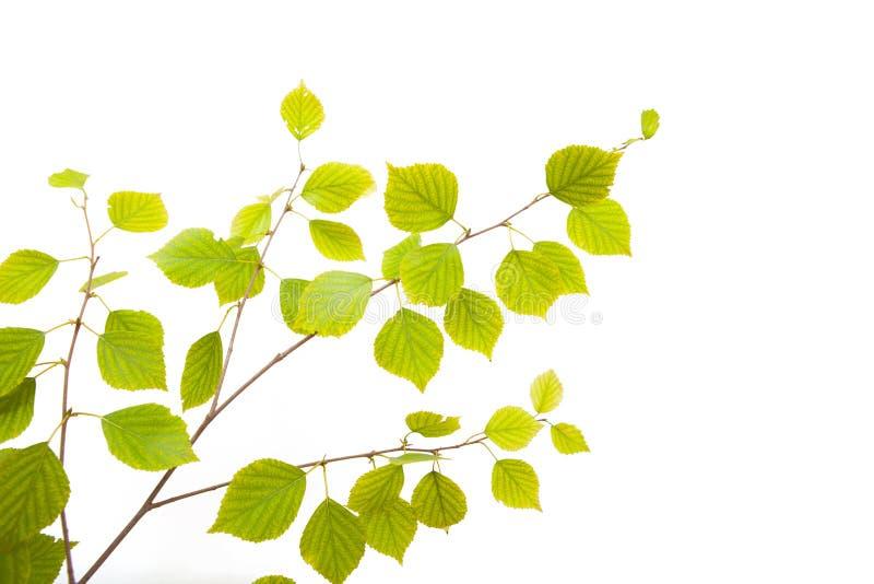 Árvore de vidoeiro fotografia de stock