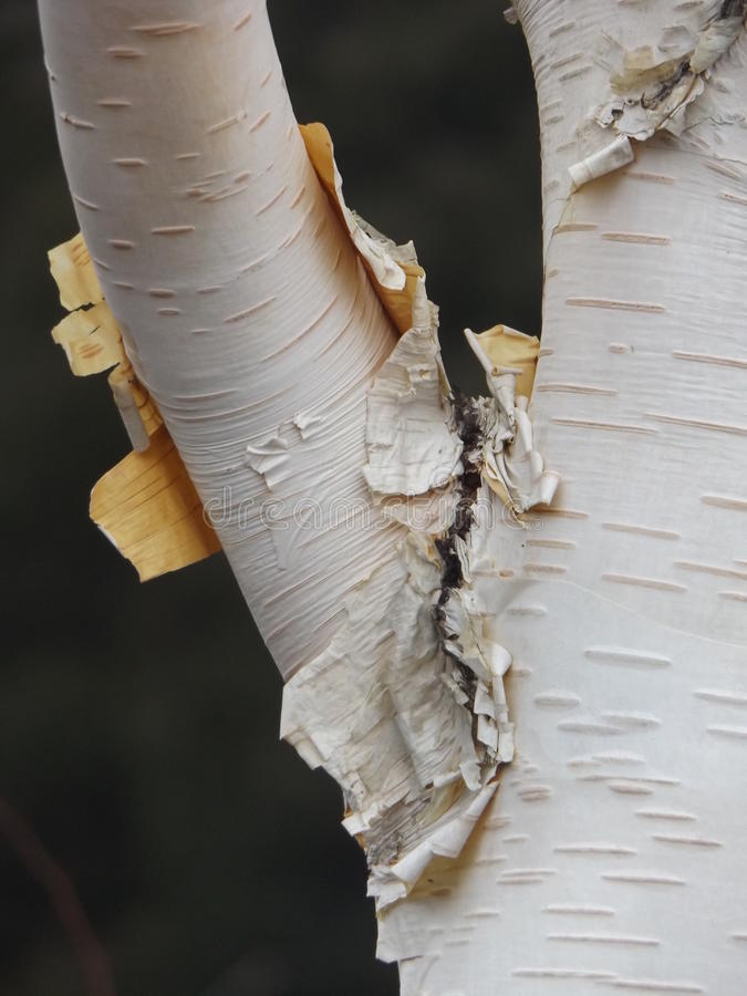 Árvore de vidoeiro imagens de stock