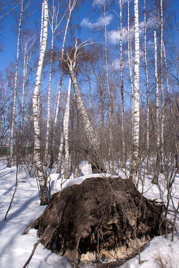 Árvore de vidoeiro caída na floresta do inverno imagens de stock royalty free