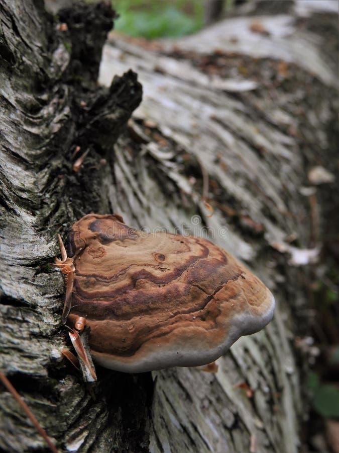 Árvore de vidoeiro com cogumelo de Polypore foto de stock