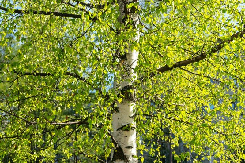 Árvore de vidoeiro na folha nova da mola foto de stock