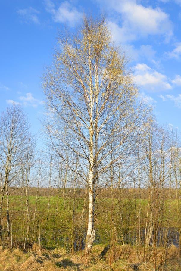 Árvore de vidoeiro na mola imagens de stock royalty free