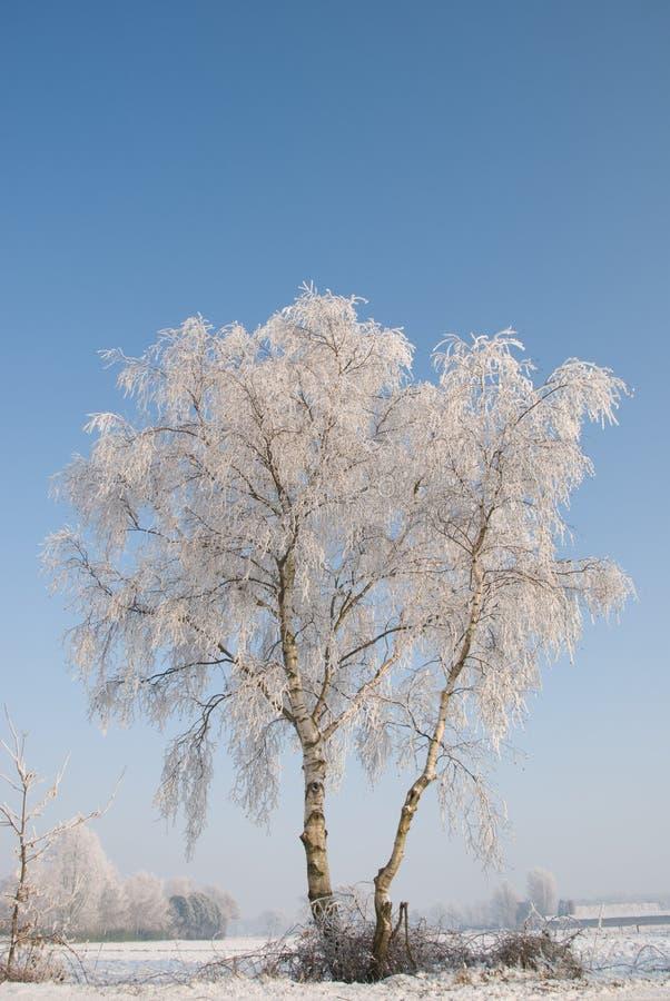 Árvore de vidoeiro nevado imagens de stock