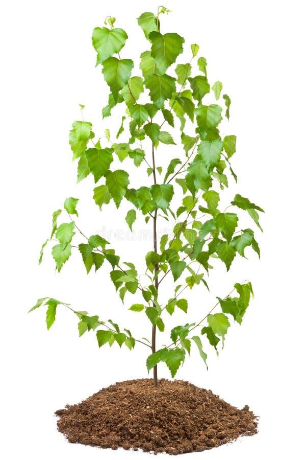 Árvore de vidoeiro nova foto de stock