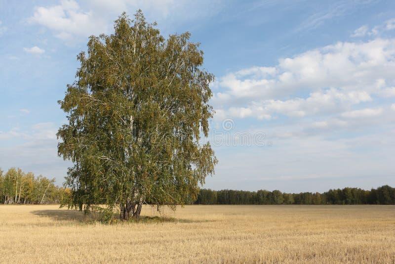 A árvore de vidoeiro que está em um amarelo sega para baixo o campo no outono imagens de stock royalty free