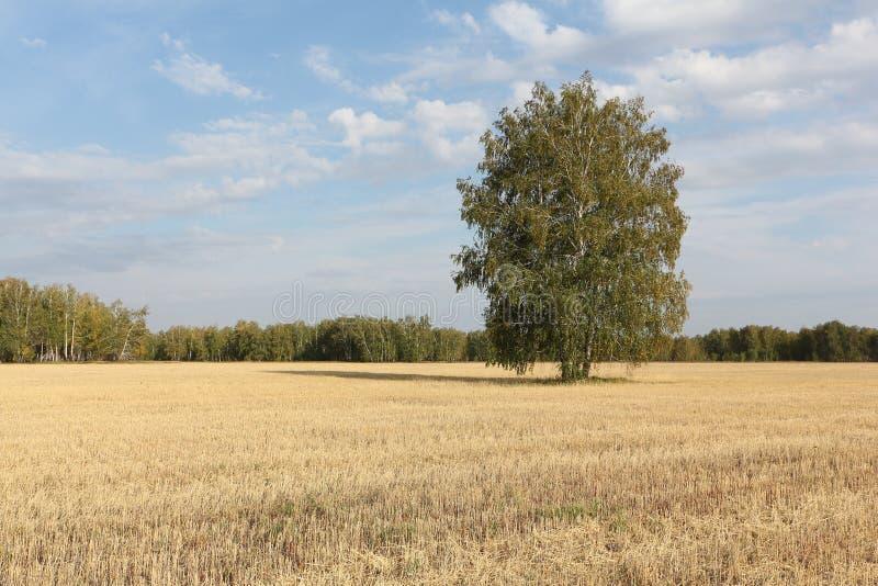 A árvore de vidoeiro que está em um amarelo sega para baixo o campo no outono fotos de stock