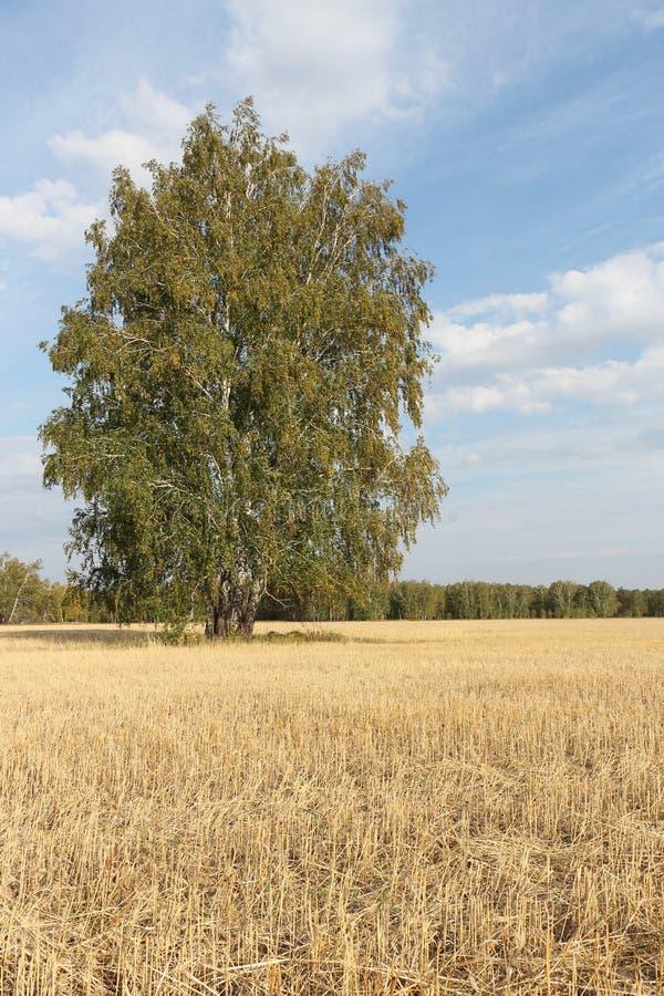 A árvore de vidoeiro que está em um amarelo sega para baixo o campo no outono foto de stock royalty free