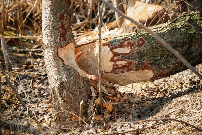 Árvore de vidoeiro roída por castores na estação de mola na costa do rio imagens de stock