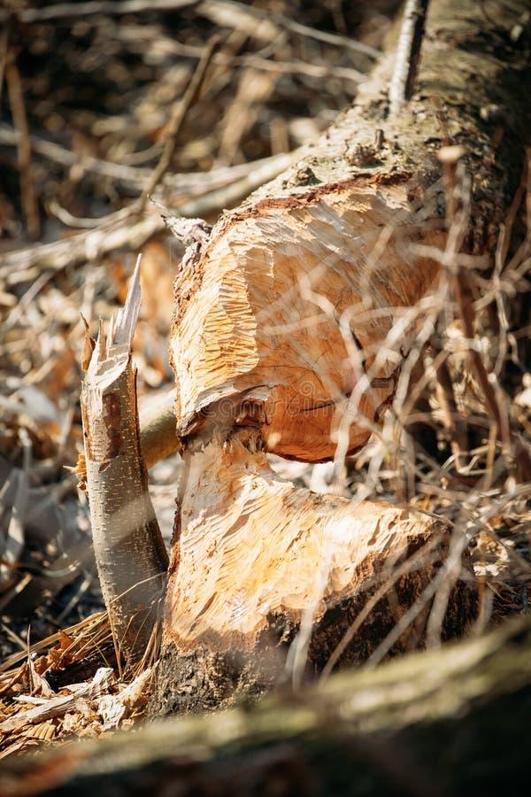 Árvore de vidoeiro roída por castores na estação de mola na costa do rio fotos de stock