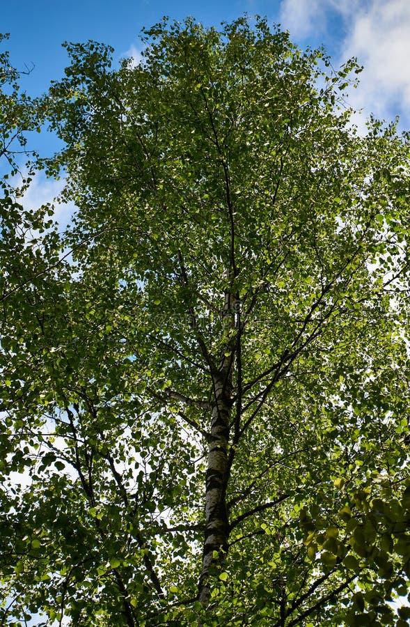 Árvore de vidoeiro verde frondosa fotografia de stock