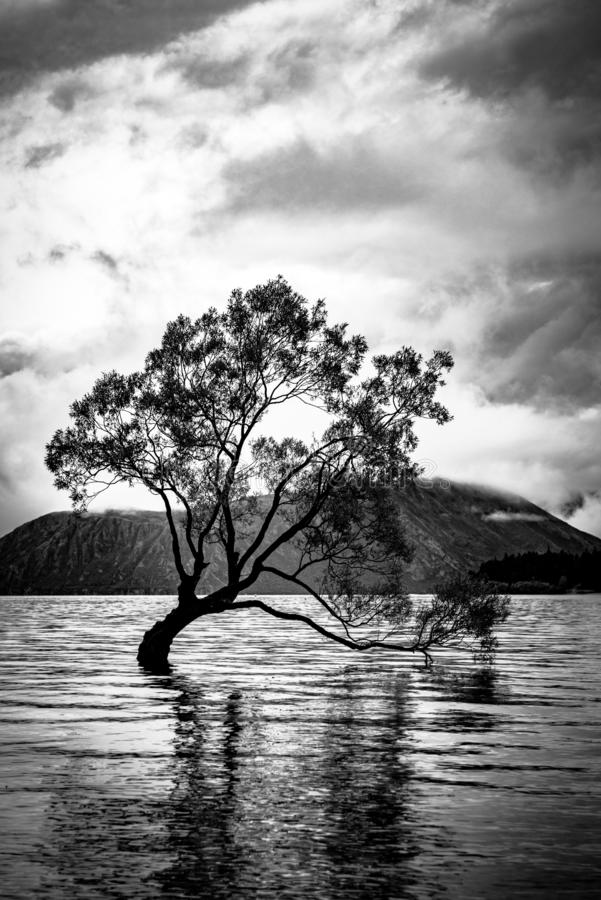Árvore de Wanaka em preto e branco foto de stock royalty free