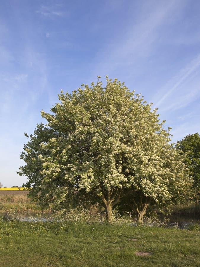 Árvore de Whitebeam imagem de stock royalty free