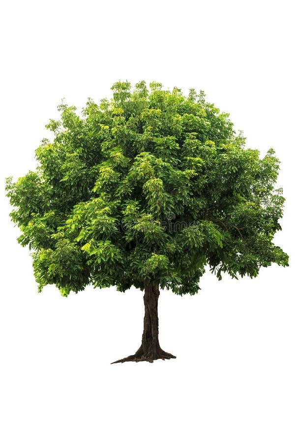 Árvore decíduo verde fresca bonita isolada no fundo branco puro para o gráfico imagem de stock royalty free