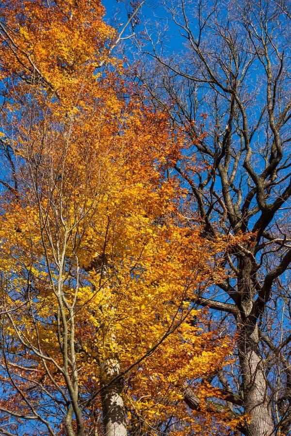 Árvore Deciduous no outono fotografia de stock
