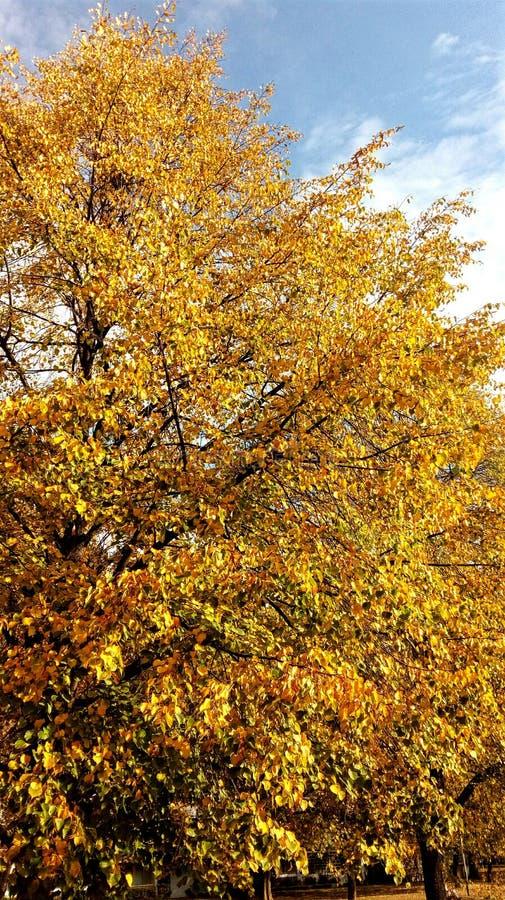 Árvore Deciduous no outono fotos de stock