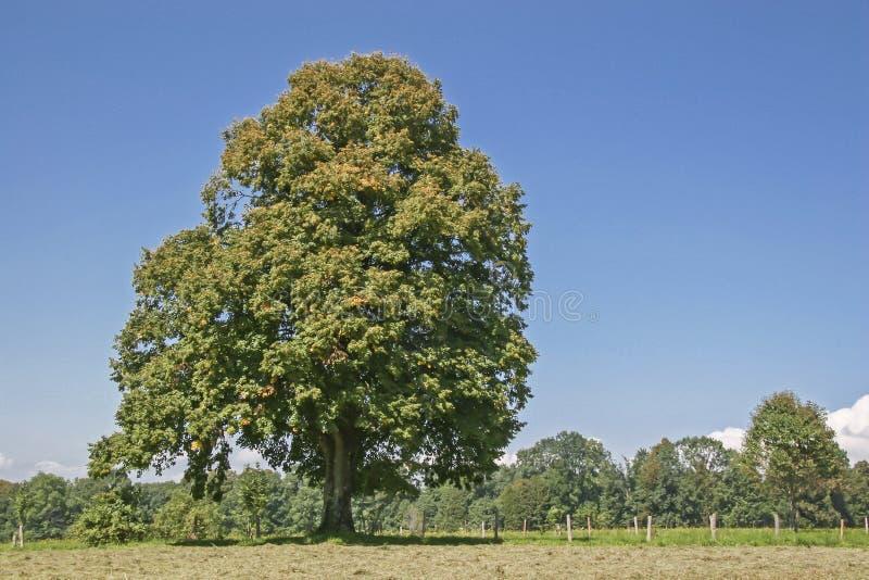 Árvore Deciduous no outono fotografia de stock royalty free
