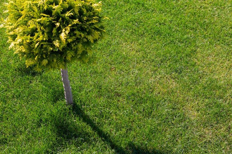 Árvore decorativa bonita e gramado ordenadamente aparado imagem de stock royalty free