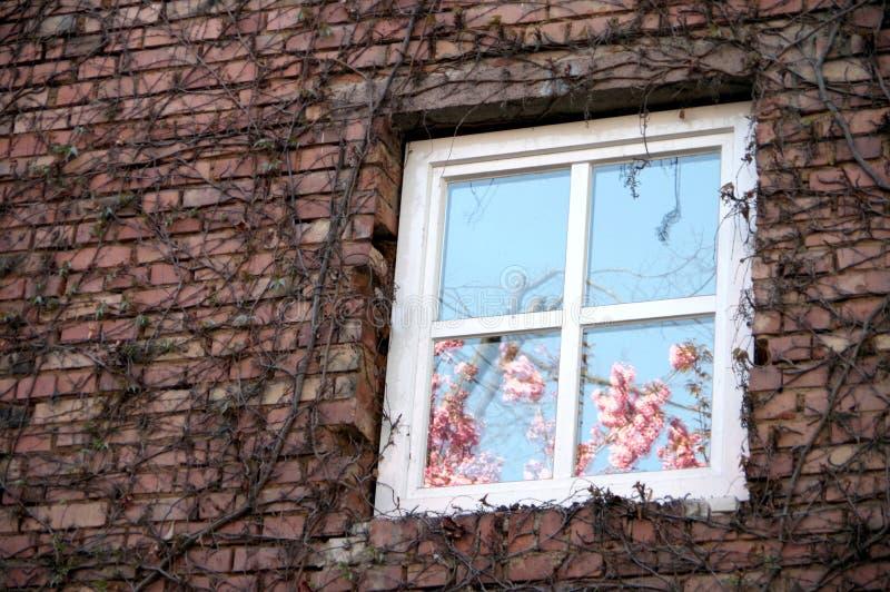 A árvore decorativa de florescência cor-de-rosa refletiu na janela fotografia de stock