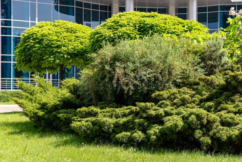 Árvore decorativa verde com uma coroa redonda no fundo de um prédio de escritórios com a reflexão azul da janela que espelha o vi fotografia de stock