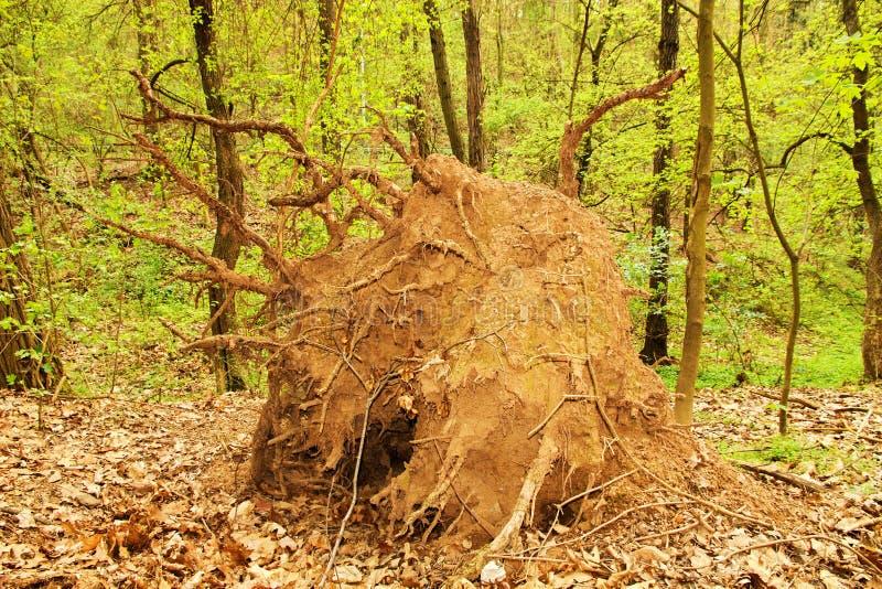 Árvore desarraigada imagem de stock royalty free